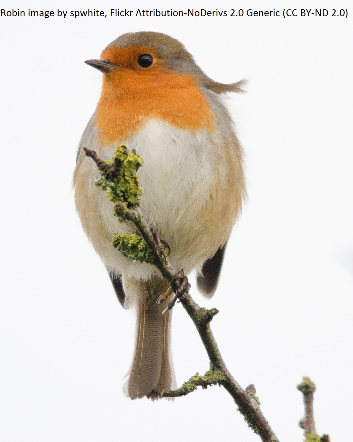 Robin_CC BY-ND 2.0_spwhite1_attribution on image.jpg