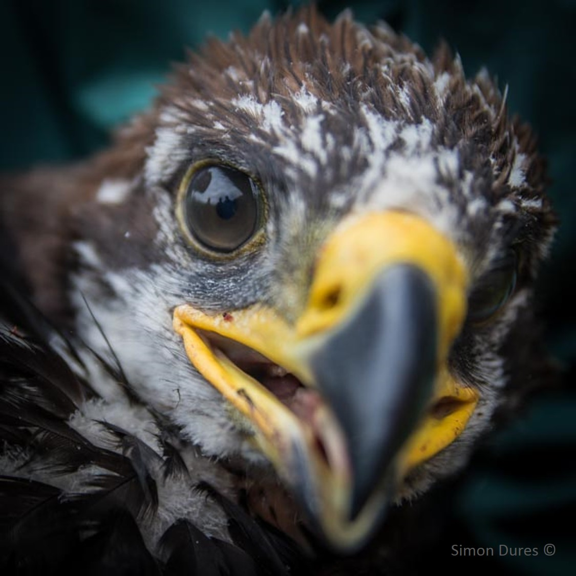 close up of a golden eagle chick